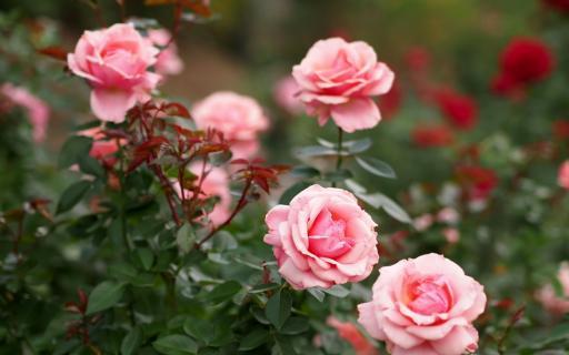 Правильное питание для садовых роз