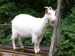 Какие условия нужны для козы?
