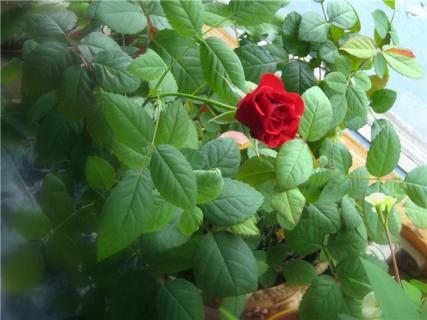 На листьях роз появился белый мучнистый налет, что делать?
