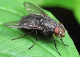 Минирующие мухи