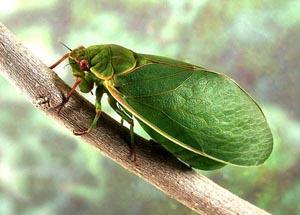 Певчие цикады. История