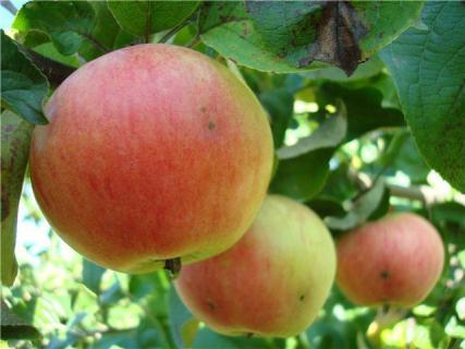 Сорт яблони Вечерняя заря. Описание