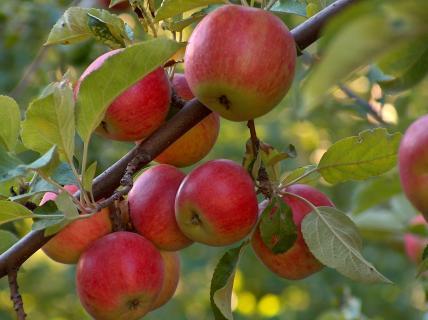 Сорт яблони Палитра. Описание