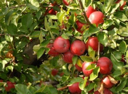 Сорт яблони Утренняя зорька. Описание