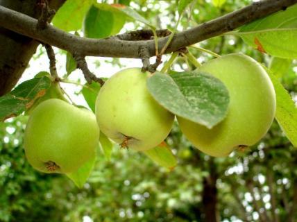 Сорт яблони Алмагуль. Описание