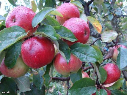 Сорт яблони Антей. Описание