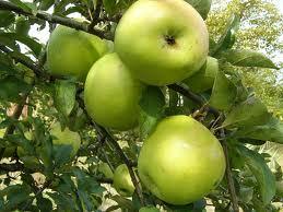 Сорт яблони Зимнее лимонное. Описание