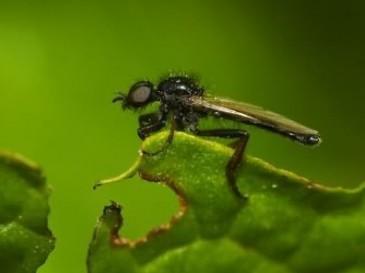 Луковая муха. Описание