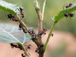 Есть ли связь между муравьями и тлей