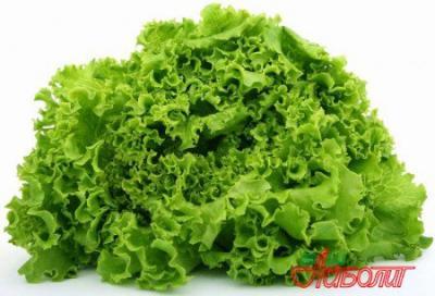 Правда ли, что листья салата лекарственные?