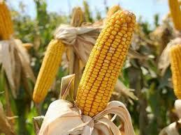 Кукуруза голодает, как исправить?