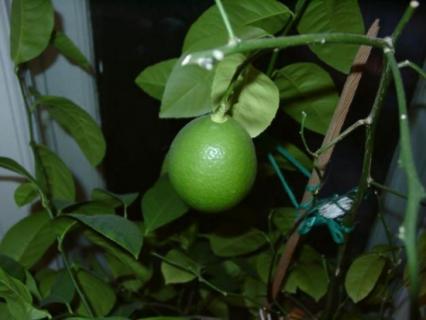 Удобряем лимон  азотно-фосфорными удобрениями