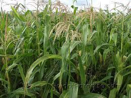 Как выращивать сахарную кукурузу