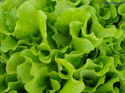Какие есть болезни салата?
