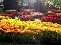 Описание классификации тюльпанов ( 8 -15 класс)