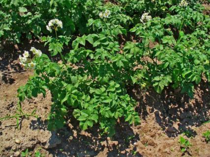 Как подготовить картофель до посадки