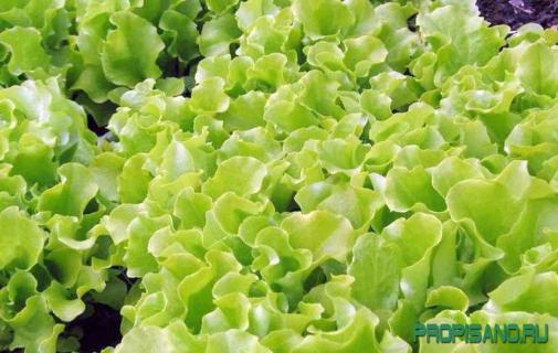 Агротехника салата зеленого