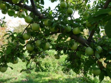 Характерные черты для яблони сорта Ренет Симиренко
