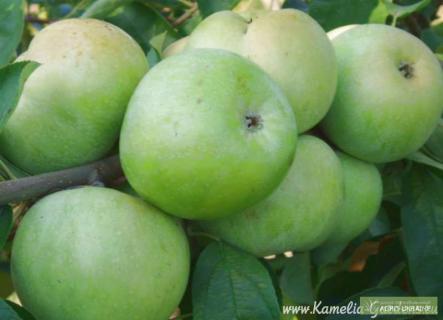 О недостатках сорта яблони  Ренет Симиренко