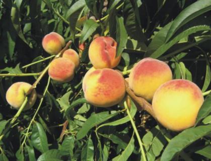 Выбор подвоя для персика