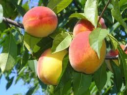 Учимся обрезать правильно персик