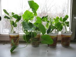 Как подготовить семена рассады?