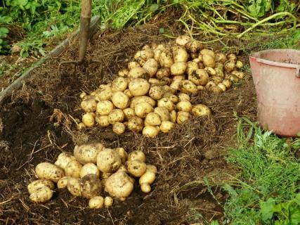 Как лучше подготовить семенные клубни картофеля к посадке?