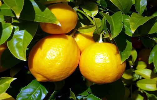 Как вырасти лимон из косточки?