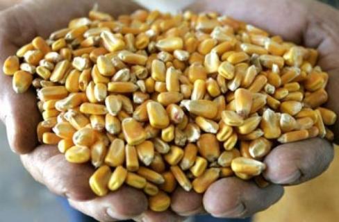 Как подготовить семена кукурузы к посеву