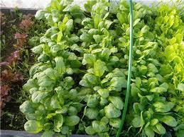 Как выращивать шпинат Утеуша?
