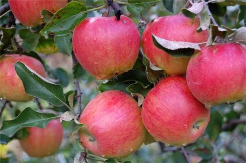 Описание сортов яблони (Вадимовка, Черкасское урожайное, Прима)