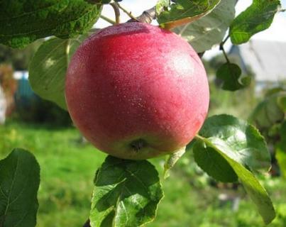 Описание сортов яблони (Жовтневе Дуки, Орлинка, Грив Ред)