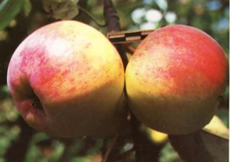 Описание сортов яблони (Фестиваль гор, Редфри,Первинка)