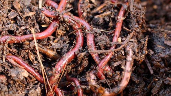 Компост с калифорнийскими червями