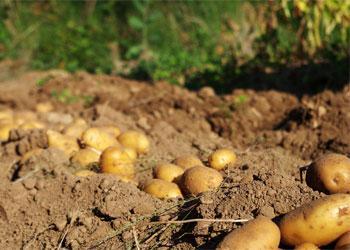 Основы урожая картофеля