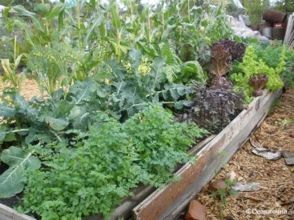 Оптимальные варианты уплотненных посевов