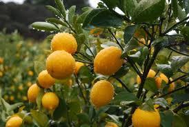 Крымский календарь на февраль - цитрусовые и ягодники