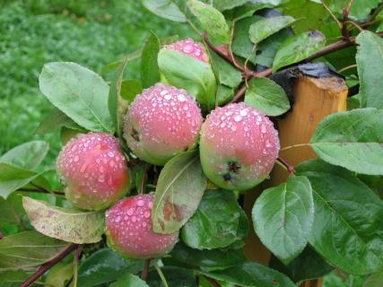 Плодоношения у взрослых яблок