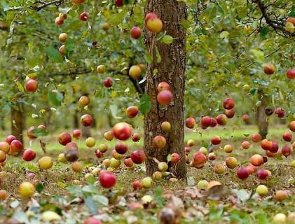 Период плодоношения и усыхания взрослых деревьев яблони