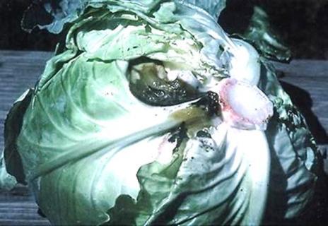Сосудистый бактериоз
