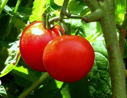 Защита томатов от болезней и вредителей
