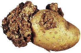 Вредитель картофеля - рак картофеля