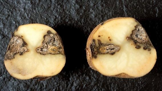 Вредитель картофеля - сухая гниль