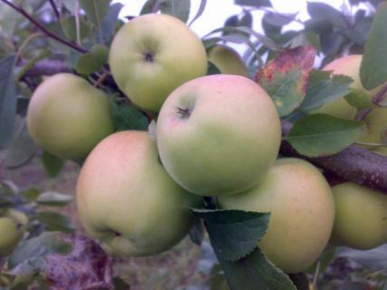 Описание сортов яблони (Ревена, Скифское золото)