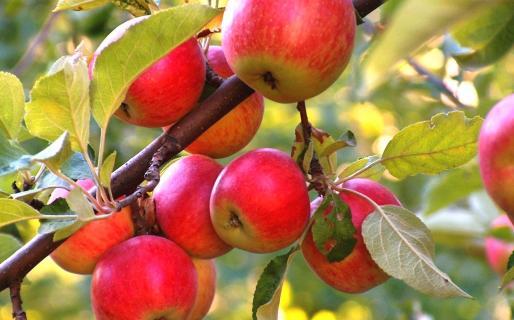 Иммунные к парше сорта яблони
