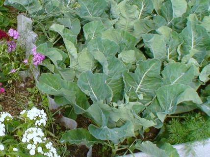 Ранний картофель и поздняя цветная капуста