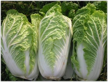Как вырастить листовую капусту?