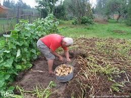 Как выращивают картофель профессионалы
