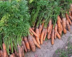 В какое время дня лучше копать морковь?
