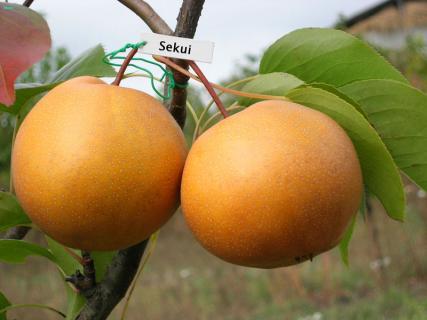 Нихоннаси - японская груша. Описание